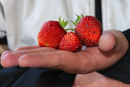Human holds three fresh dirty strawberries in his hand with blurred background.