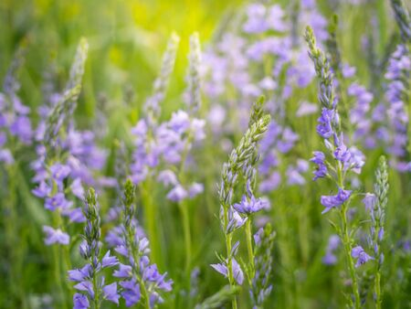 Beautiful blue Veronica flowers blooms in the summer meadow. Flower background.