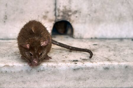 The rat is resting near the mink.