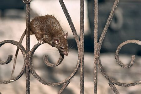 The brown rat climbs the temple fence. Imagens