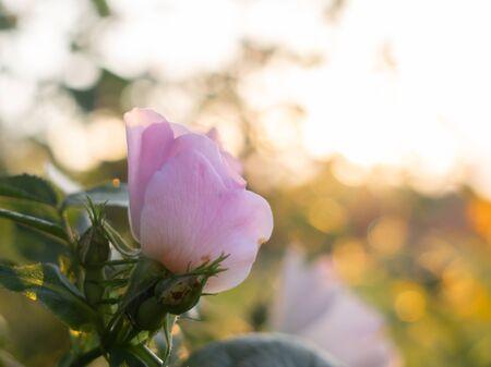 Bellissimi fiori di rosa selvatica sbocciano in giardino sotto il caldo sole.