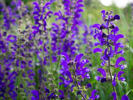 Beautiful purple Salvia pratensis blooms in the meadow.