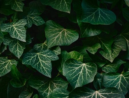 Dark green leaves on a dark background. Stockfoto