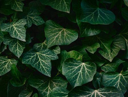 Dark green leaves on a dark background. Banco de Imagens