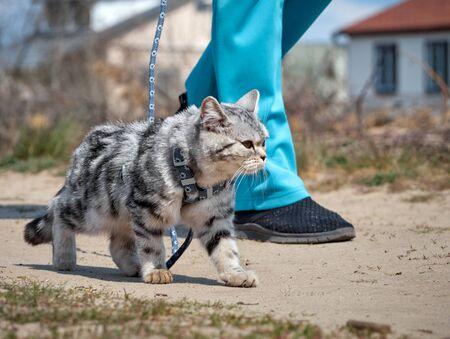 Kitten walking on a leash.
