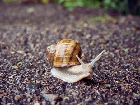 Slow grape snail crawl on the asphalt in the park