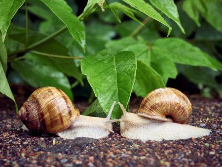 Date of two snails on a background of leaves Reklamní fotografie