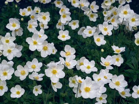 Anemone flowers in the garden.