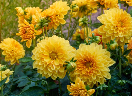 Dahlia flowers in the garden