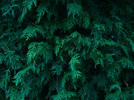 Green thuja tree branches background.