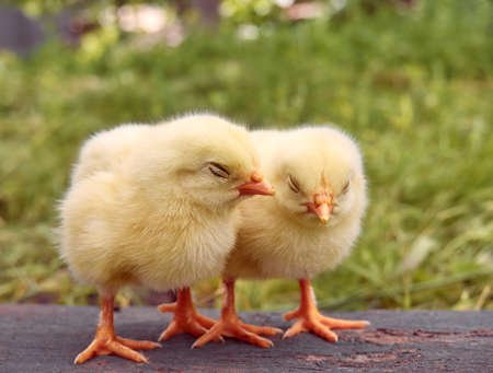 Little yellow cute baby chicks. Banque d'images
