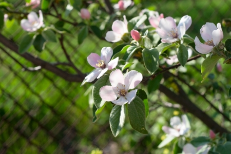 rabitz: Quince branch with delicate pink blossom