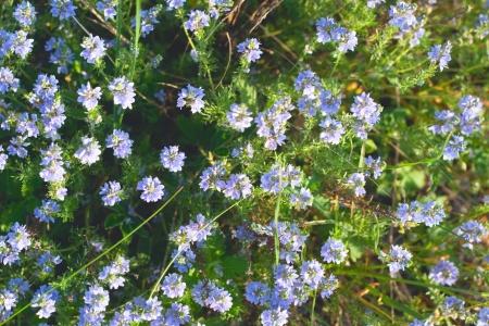 phytology: many sun blue round wild flowers