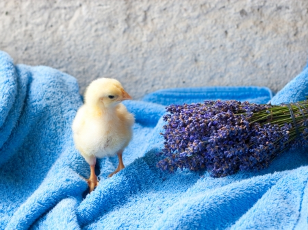 terry: chicken and bunch of lavender on the blue terry towel