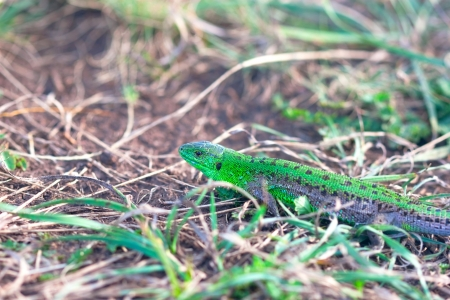 to creep: shining green lizard to creep in the grass Stock Photo