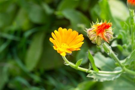 officinal:  officinal herbs - yellow calendula flowers Stock Photo