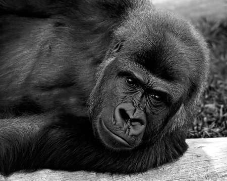 Gorilla laying on a tree log
