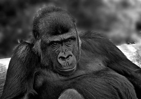 Gorilla resting against a tree log, black and white image
