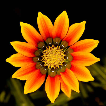 Gazania flower at close range, on dark background