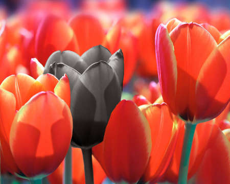 Close-up of a field of red tulips with one black flower Stock Photo