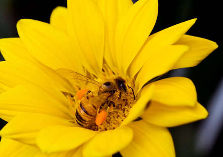 Bee on a yellow gazania flower, gathering pollen Stock Photo