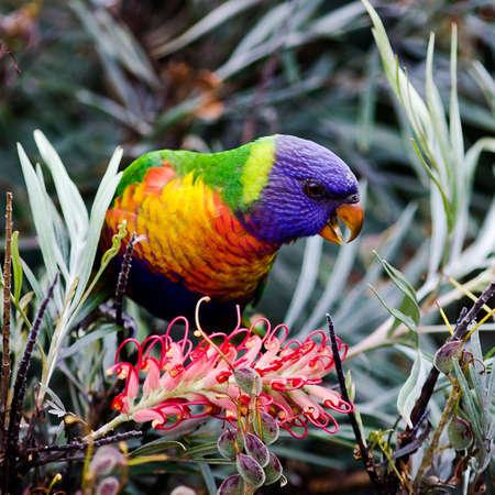 Rainbow lorikeet, Australian parrot, feeding on Banksia bush Stock Photo