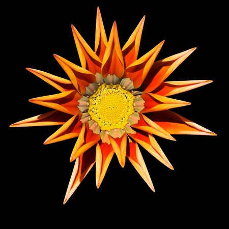 Gazania flower, wilting at the end of summer, on black background