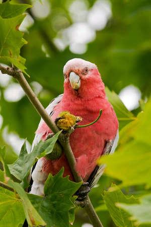 Native Australian galah parrot feeding on tree seeds Stock Photo