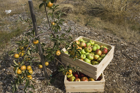 Apple crates in orchard