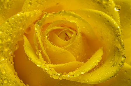 Yellow rose flower with water drops. Close-up. photo