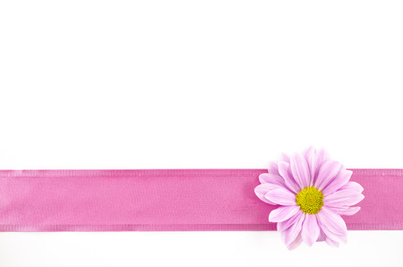 white ribbon: Empty postcard background with oxeye daisy flower and pink ribbon