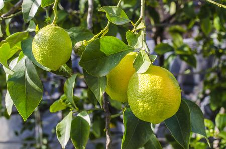 peal: Lemons hanging on tree