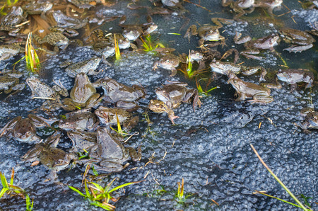 copulation: Copulation of the frog and frog spawn in pond Stock Photo
