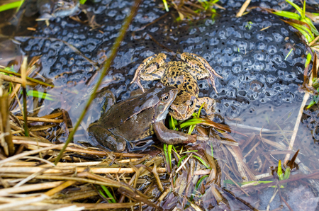 spawn: Copulation of the frog and frog spawn in pond Stock Photo