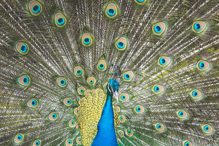 expanded: Peacock with beautiful feathers expanded Stock Photo