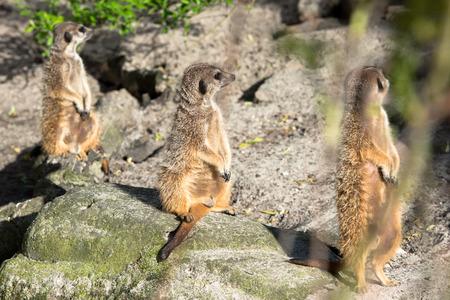 at meerkat: Beautiful wild meerkat