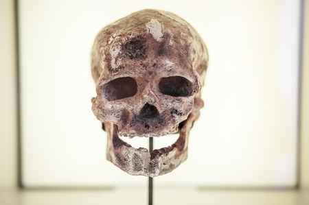 human evolution: Front view of human ancestor skull in showcase, evolution concept