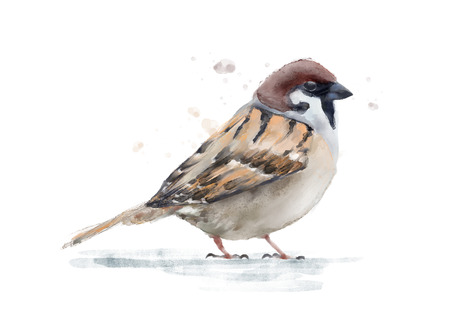 sparrow bird: Watercolor sparrow bird isolated on white, hand painted zoological illustration
