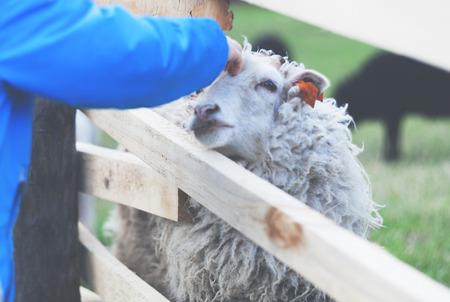 Little boy stroking sheep on farm, vintage filter