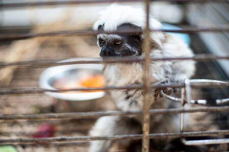 Monkey Tamarin Pinc (Saguinus oedipus) in cage Reklamní fotografie