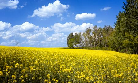 Blooming yellow rape field at sunny spring day Stok Fotoğraf