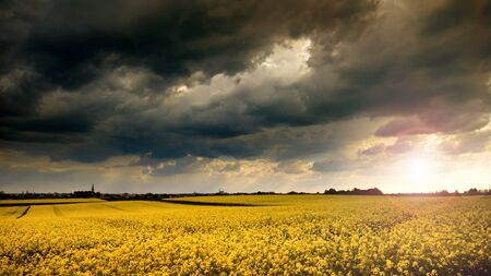 Blooming yellow rape field at stormy spring day Stok Fotoğraf