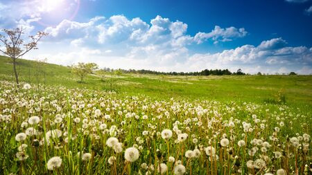 Dandelion field at spring sunny day