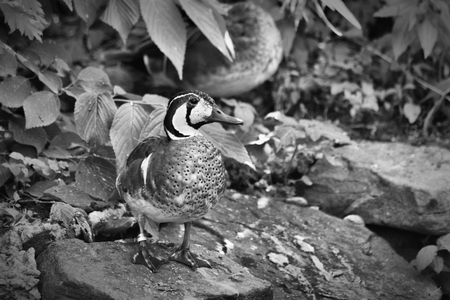 The Duck Black and White Stock Photo