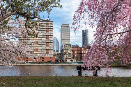Cherry Blossom in Boston Archivio Fotografico