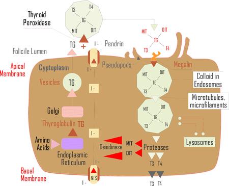 Medic hypothalamus illustration Stock Vector - 105736655