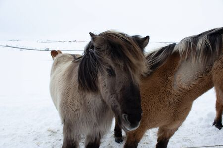 Icelandic pony in snow, close up Standard-Bild