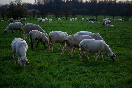 feeding flock of sheep on the pasture at dusk Archivio Fotografico
