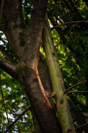 Missing bark on a trunk after a storm