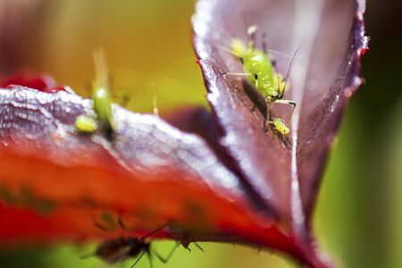 Macro shot of a young aphid on a rose petal Stock Photo